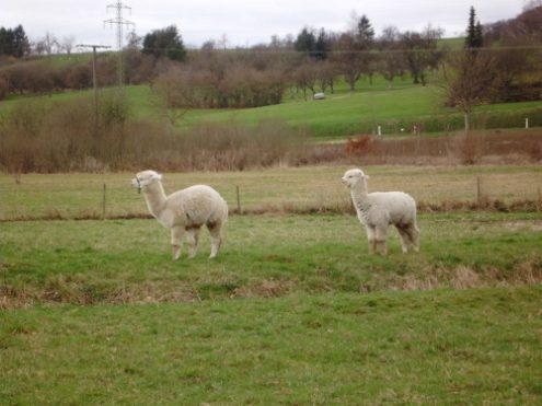 Lamas am Ortseingang von Ohmden